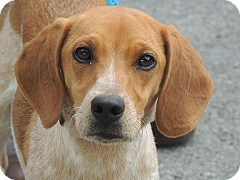 Beagle Puppy for adoption in Harrisonburg, Virginia - Copper