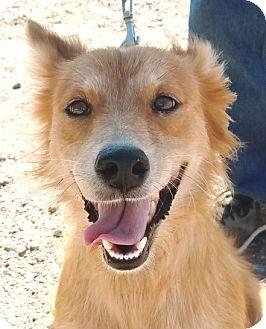 Australian Shepherd Mix Dog for adoption in Casa Grande, Arizona - Sweetie