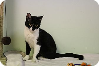 Domestic Shorthair Cat for adoption in Murphysboro, Illinois - Dora