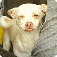 Adopt A Pet :: Henry Danger - Bakersfield, CA