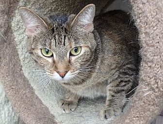 Domestic Shorthair Cat for adoption in Seguin, Texas - Tiny