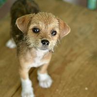 Adopt A Pet :: Curly - San Antonio, TX