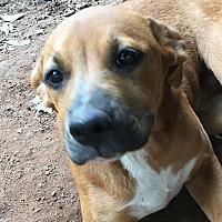 Adopt A Pet :: Lacey - Monticello, GA