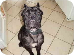 Cane Corso Dog for adoption in New York, New York - Bella Starr- NJ