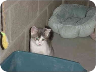 Domestic Shorthair Kitten for adoption in Woodland, Washington - Ozzie