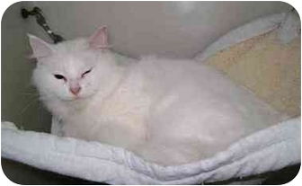 Domestic Mediumhair Cat for adoption in Menomonie, Wisconsin - Snowbell