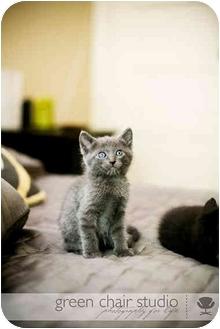 Domestic Mediumhair Kitten for adoption in Portland, Oregon - Eenie