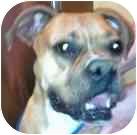 Boxer Dog for adoption in Sunderland, Massachusetts - Charlotte