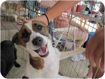 Jack Russell Terrier/Terrier (Unknown Type, Small) Mix Dog for adoption in Alexandria, Virginia - Jasper