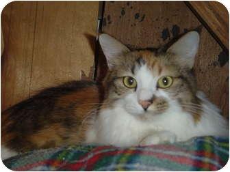 Domestic Longhair Cat for adoption in Lake Charles, Louisiana - Bella