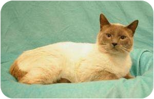 Siamese Cat for adoption in Sacramento, California - Lucas