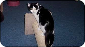 Domestic Shorthair Cat for adoption in Quincy, Massachusetts - Bailey