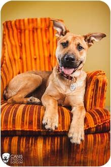 German Shepherd Dog/Great Dane Mix Dog for adoption in Portland, Oregon - Steven
