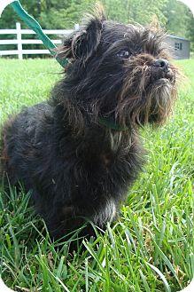 Shih Tzu/Chihuahua Mix Dog for adoption in Fairmount, Georgia - Brutus