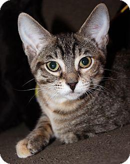 Domestic Shorthair Kitten for adoption in Chicago, Illinois - Gimlet