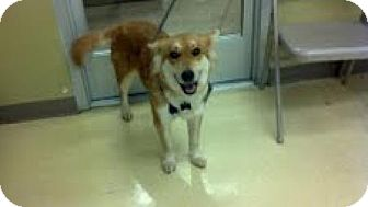 Husky Mix Dog for adoption in Homewood, Alabama - Vixen