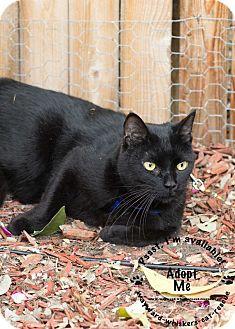 American Shorthair Cat for adoption in San Antonio, Texas - Rio