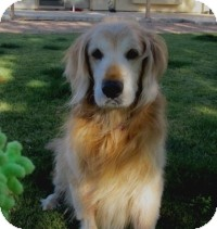 Golden Retriever Mix Dog for adoption in Scottsdale, Arizona - Martibear