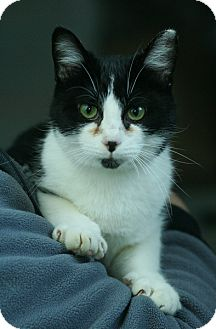 Domestic Shorthair Cat for adoption in Anderson, Indiana - Dos