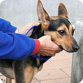 Basenji/Manchester Terrier Mix Dog for adoption in Berkeley, California - Syria