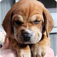 Adopt A Pet :: Tommi-Sue Tejas - Portland, OR