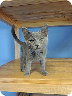 Domestic Shorthair Kitten for adoption in Brookings, South Dakota - Carolina