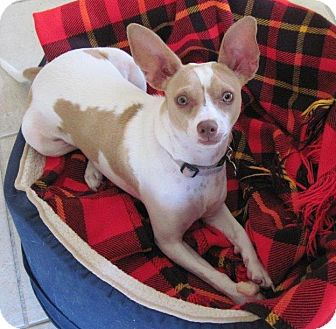 Terrier (Unknown Type, Small) Mix Dog for adoption in Tehachapi, California - Gypsy Rose