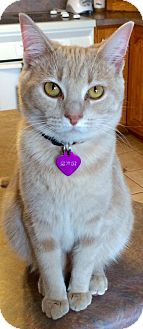 Domestic Shorthair Cat for adoption in Knoxville, Tennessee - Phoebe Kitty