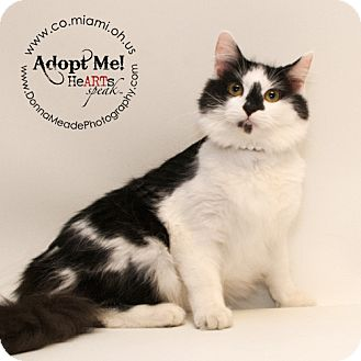 Domestic Longhair Cat for adoption in Troy, Ohio - Layla- Adopted