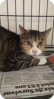 Domestic Shorthair Cat for adoption in THORNHILL, Ontario - Sienna