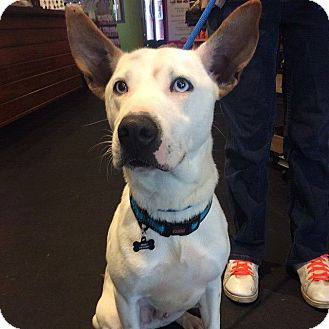 Husky/Cattle Dog Mix Dog for adoption in Wappingers, New York - Ajax