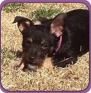 Chihuahua Mix Puppy for adoption in Spring City, Pennsylvania - Bea