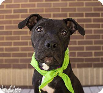 Boxer Mix Dog for adoption in Charlotte, North Carolina - Shannon (Irish Litter)