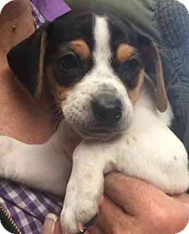 Beagle Mix Puppy for adoption in Providence, Rhode Island - Sampson