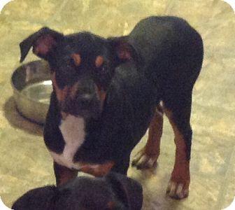 Rottweiler/Doberman Pinscher Mix Puppy for adoption in Palatine, Illinois - Velma