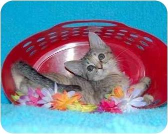 Siamese Kitten for adoption in Taylor Mill, Kentucky - JuneBug
