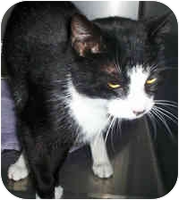 Domestic Shorthair Cat for adoption in Honesdale, Pennsylvania - Lilac