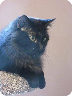 Domestic Mediumhair Cat for adoption in Roseville, Minnesota - Darius