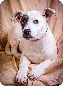 Labrador Retriever/Blue Heeler Mix Puppy for adoption in Anna, Illinois - ELIZA
