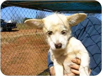 Chihuahua/Pekingese Mix Dog for adoption in Charleston, South Carolina - Nickle
