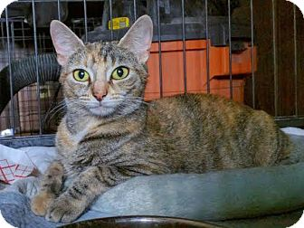 Domestic Shorthair Cat for adoption in Bronx, New York - Missy