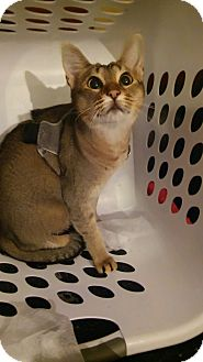 Abyssinian Cat for adoption in Bay City, Michigan - Dutchess