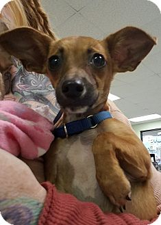 Chihuahua Mix Puppy for adoption in Houston, Texas - Gypsy Jane