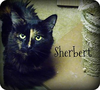 Domestic Mediumhair Cat for adoption in Defiance, Ohio - Sherbert