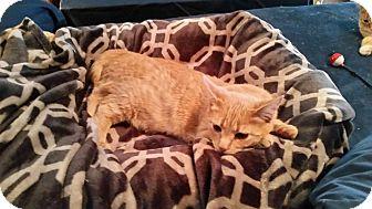 Domestic Shorthair Cat for adoption in Huntley, Illinois - Diamond and Elvira