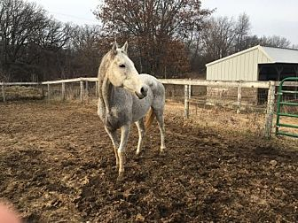 Thoroughbred for adoption in Woodstock, Illinois - Grace
