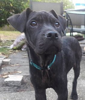 Labrador Retriever/Mixed Breed (Medium) Mix Puppy for adoption in Jacksonville, Florida - Anthony
