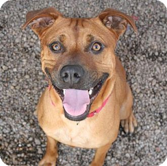 Black Mouth Cur Mix Dog for adoption in Norfolk, Virginia - Rusty