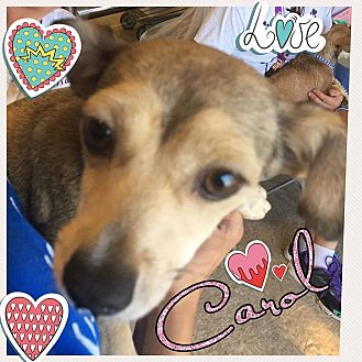 Chihuahua Dog for adoption in Brownsville, Texas - Carol