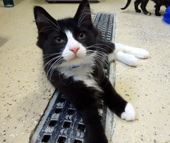 Domestic Longhair/Domestic Shorthair Mix Cat for adoption in Belleville, Michigan - Smuckers
